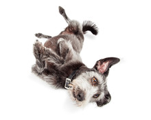 Terrier Dog Rolling Over