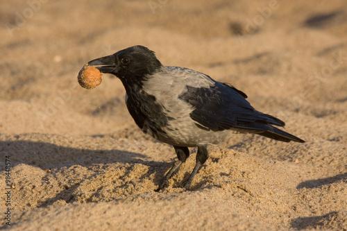 Funny Crow On The Beach Hooded Crow Corvus Cornix Kaufen Sie