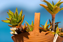 Aloe Vera In Clay Pot - Liguri...