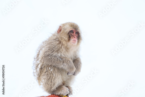 Fotomural Monos de la nieve en Parque de monos Jigokudani, Nagano