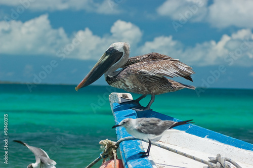 Fotografie, Obraz  Pelicans