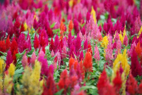 Fotografie, Obraz  colorful celosia flower