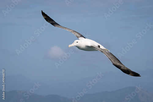 Valokuva  Flying wandering  albatross, New Zealand