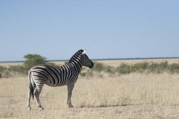 Afrika Namibia Etosha Wildlife Zebra