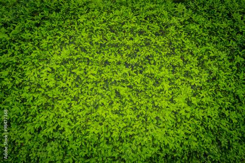 Foto op Plexiglas Groene green leaves wall