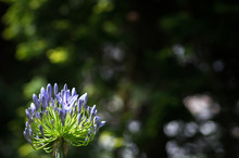 African Lily Agapanthus Flower...
