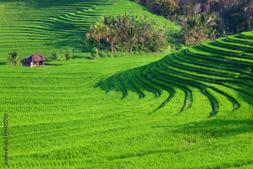 Poster Rijstvelden Beautiful view of Balinese green rice growing on tropical field terraces. Best scenic Asian backgrounds and landscapes, people culture and nature of Bali and Java islands, travel places in Indonesia