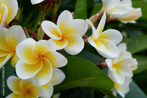 In de dag Frangipani white frangipani tropical flower, plumeria flower fresh blooming