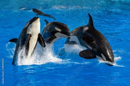Fotografie, Obraz  orca killer whale while jumping