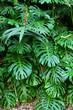 La Réunion - Philodendron dans la nature