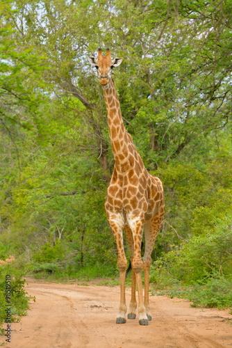 Girafe sur chemin de terre Poster