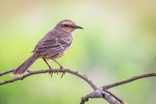 Chalk-browed Mockingbird - Mimus Saturninus.(Lichtenstein, 1823)