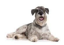 Dog. Miniature Schnauzer On Wh...
