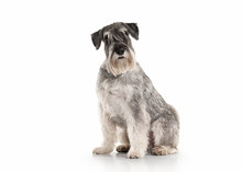 Dog. Miniature Schnauzer On Wh...