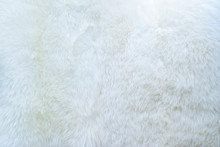 Close Up Of White Real Sheep S...