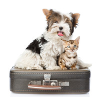 Biewer-Yorkshire Terrier And Bengal Cat Sitting On A Bag. Isolat