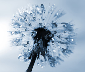 Fototapeta Dmuchawce Dewy dandelion flower close up