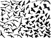 Large Collection Of Black Flying Birds