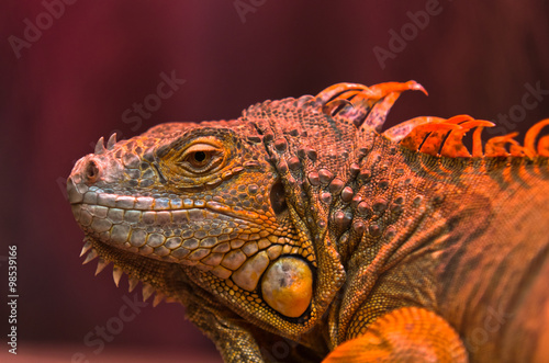 obraz dibond Close-up portrait of curious Iguana reptile