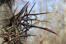 The Spines Of The Acacia On Th...