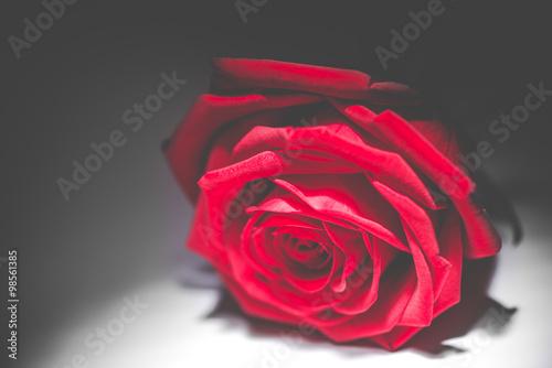 czerwona-roza-na-ciemnym-tle