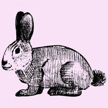 Cottontail, Rabbit, Doodle Style, Sketch Illustration