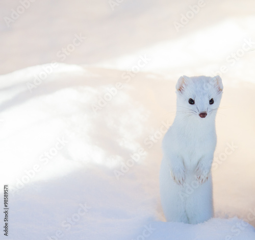 Photo  white ermine weasel standing in deep snow