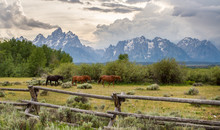 Three Horses Walk In File In Front Of An Old Ranch Fence In The Foreground Of The Teton Mountain Range