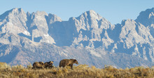 A Sow Grizzly Bear Mother Leads Two Cubs Along A Ridge In Front Of A Dramatic Mountain Range