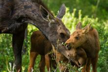 A Mother Moose Nurtures Her Tw...