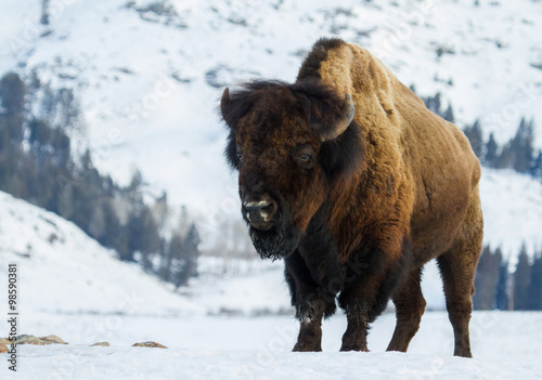 Poster de jardin Bison a huge bull bison stands angling toward the camera in a snowy yellowstone winter landscape