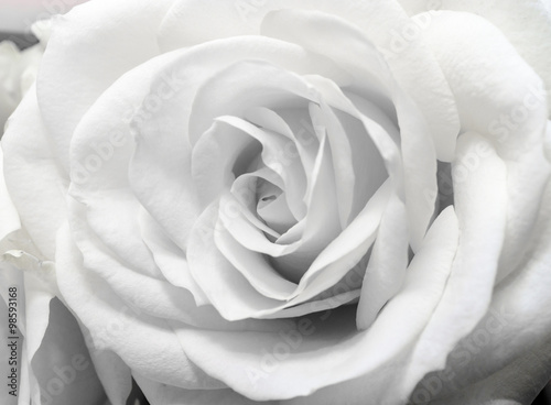 Fototapeta Beautiful white rose obraz na płótnie