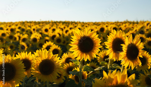 Spoed Foto op Canvas Zonnebloem sunflower field