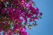 Bougainvillea Flowers In The P...