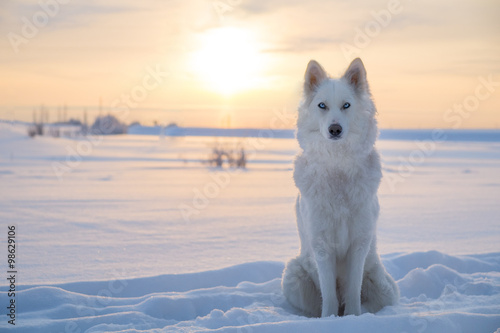 Photo  Husky/Yakutian laika