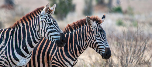 Zebras in Tsavo East National Park, Kenya