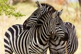 Fototapeta Fototapeta z zebrą - Zebras