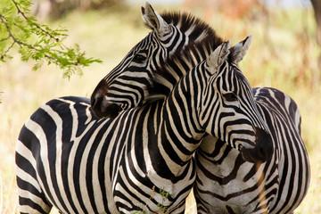 Panel Szklany Podświetlane Zebry Zebras