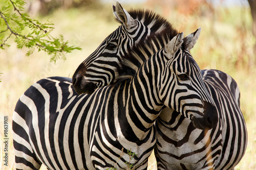 Photo Stands Zebra Zebras