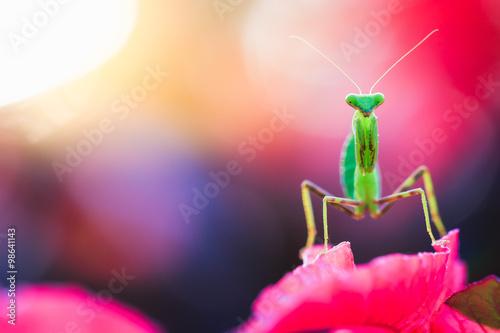 Obraz na plátně  mantis