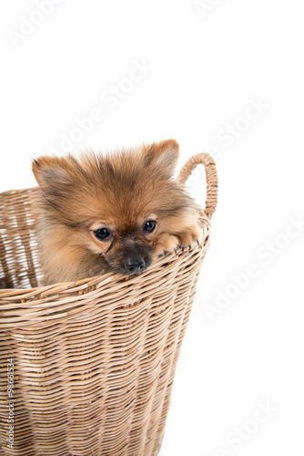 Tuinposter Eekhoorn pomeranian dog stading in basket isolated background