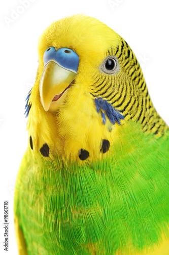 Photo Budgerigar. Parrot isolated on white background.