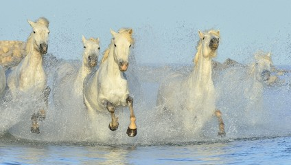 Fototapeta Koń Herd of White Camargue Horses running on the water .