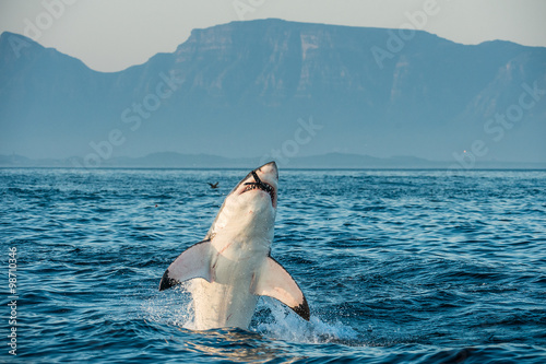 Great White Shark (Carcharodon carcharias) breaching in an attack on seal and swallowed a seal.