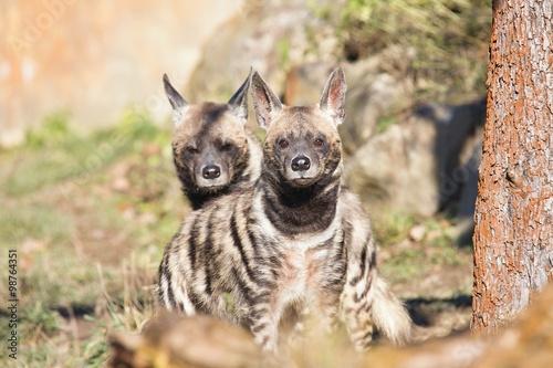 Poster Hyène Striped Hyaena, Hyaena hyaena, watching nearby