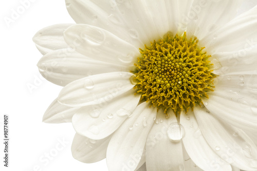 Foto op Canvas Madeliefjes Flower daisy on white background
