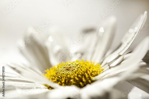 In de dag Madeliefjes Daisy flowers
