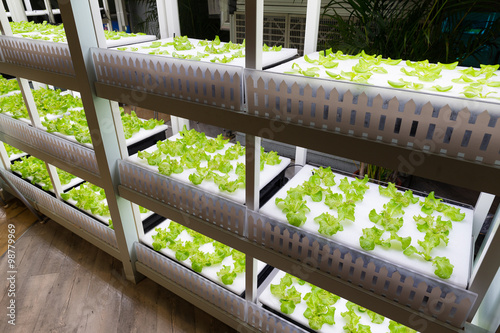 Fresh lettuce growing in an hydroponics system Wallpaper Mural