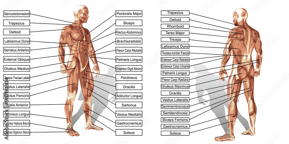 Vector 3d Man Muscle Anatomy With Text Isolated Foto Poster