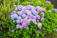 Lilac Viburnum
